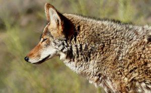 Closeup of Coyote head