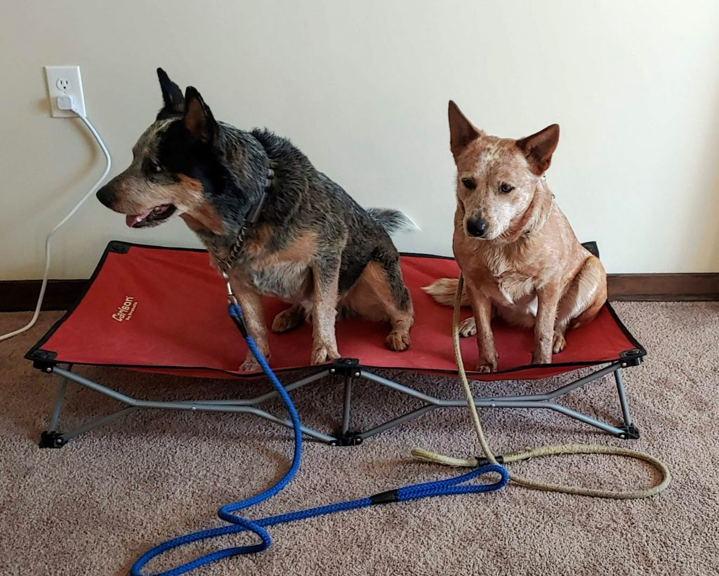 Blue cattle dog and red cattle dog on raised dog bed, looking to their right.
